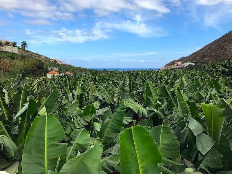 Plataneras Banana trees